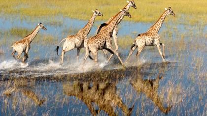 Image of the giraffes that appears in the title of the report